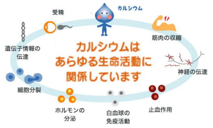 カルシウムと生命活動.jpg