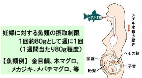 妊婦とメチル水銀.jpg