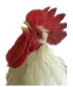 鶏.jpg