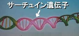 サーチュイン遺伝子.jpg