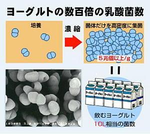 乳酸菌の図.jpg