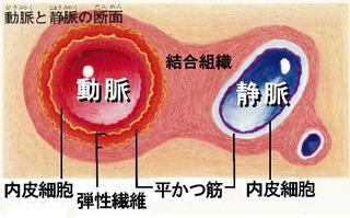 動脈と静脈の断面図.jpg