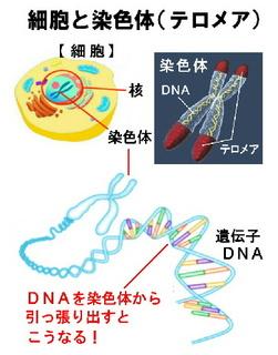 細胞と染色体テロメア.jpg