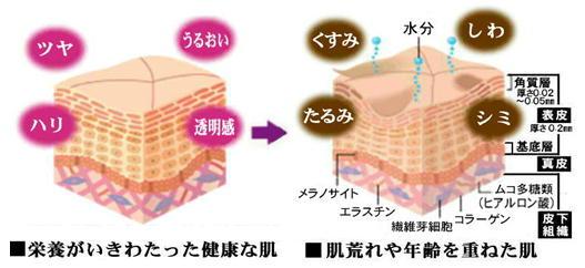 肌の構造.jpg