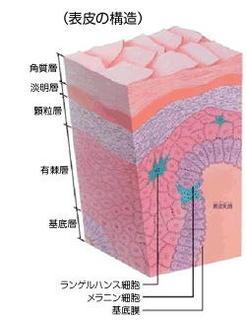肌の組織図.jpg