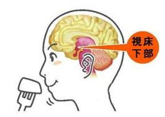 脳と視床下部.jpg