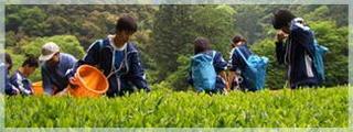 静岡茶にセシウム.jpg