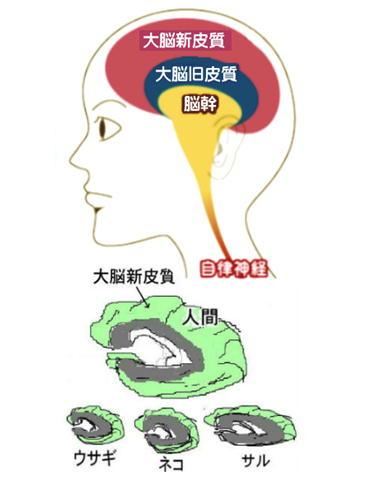 大脳新皮質 ヒトの絵.jpg